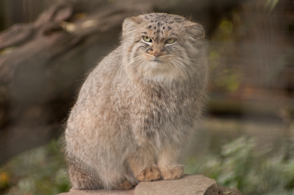 Manul(chen)